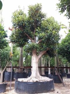 ficus-magnolifolia