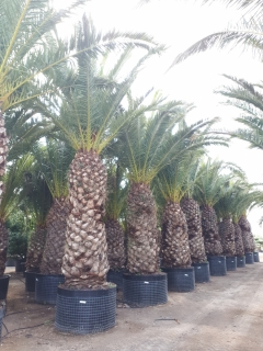canariensis-1