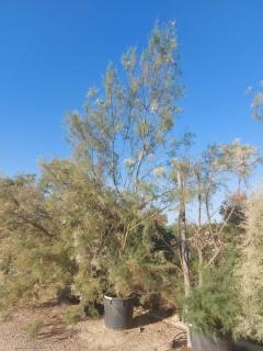 tamarix-gallica