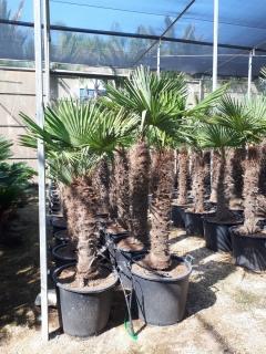 trchycarpus-1