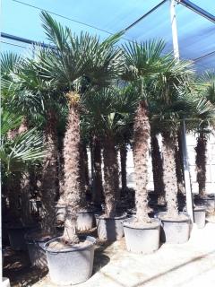 trchycarpus-4