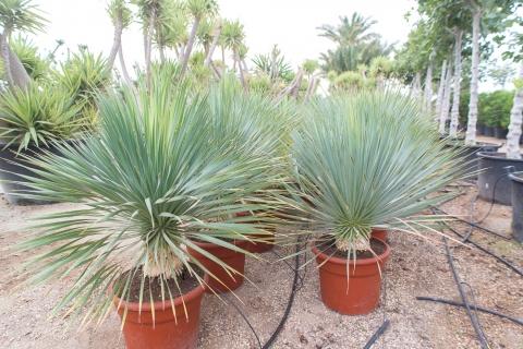 yucca-rostrata-1